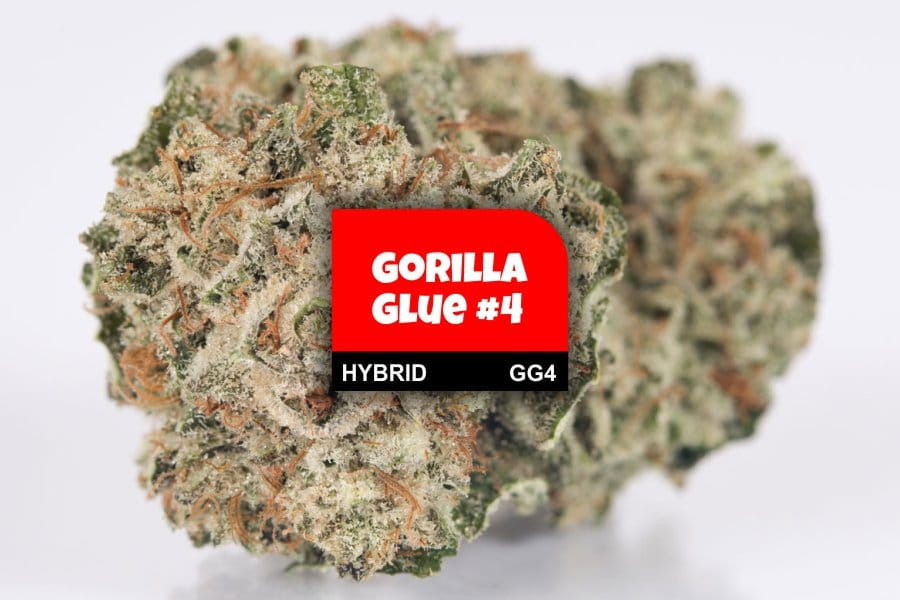 Gorilla Glue #4 Cannabis Strain Profile with Ratings & Reviews